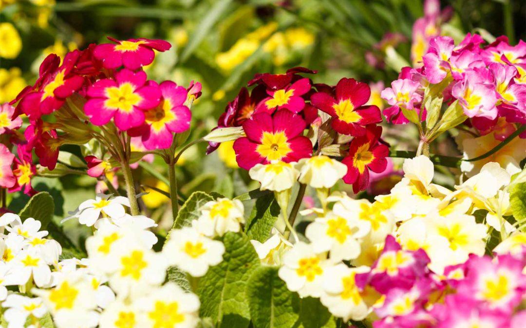 La Primula, preannunciare la primavera con un fiore
