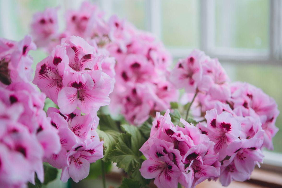 Geranio: il fiore perfetto per colorare i tuoi ambienti durante l'estate